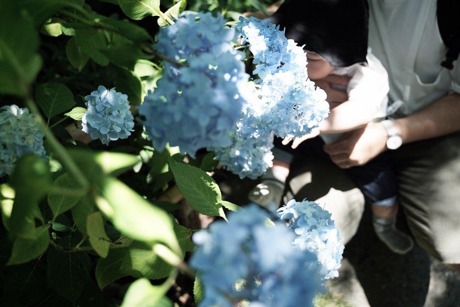 明月院ブルーの紫陽花